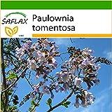 SAFLAX - Blauglockenbaum - 200 Samen - Mit Substrat - Paulownia tomentosa