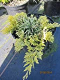 Juniperus horizontalis Mother Lode - Goldgelber Teppichwacholder Mother Lode