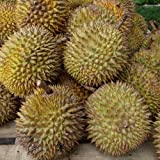 Plant World Seeds - Durian Seeds