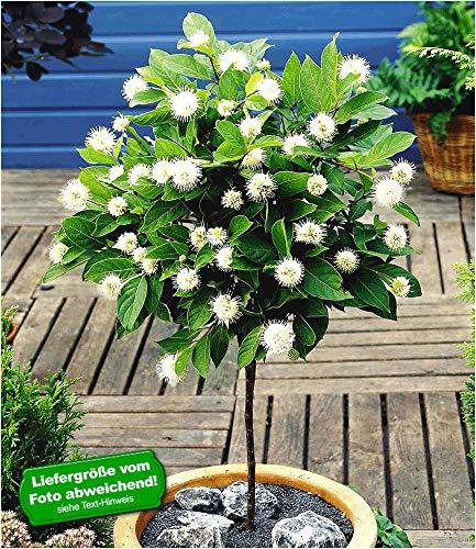 BALDUR-Garten Knopfbusch-Stämmchen,1 Pflanze