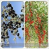 Pinkdose2018 vendita calda misto Qinhai nero e rosso Ningxia Gogi Wolfberry Seeds semi di nespola a base di erbe 50 +