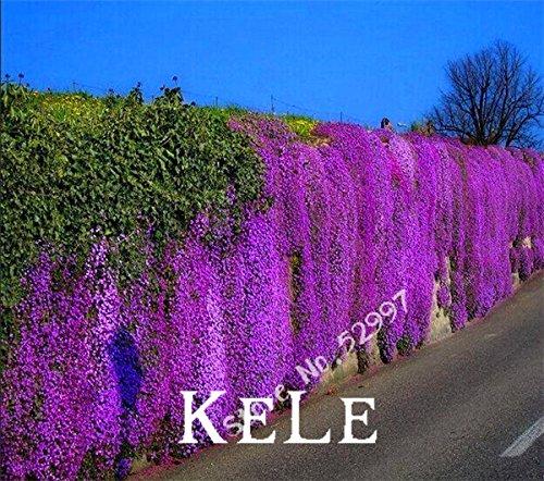 Arabette, 100 pièces/paquet Aubrieta Cascade Violet Graines de fleurs, couvre-sol vivaces Superbe pour le jardin à la maison