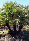 TROPICA - Zwergpalme (Chamaerops humilis) - 15 Samen