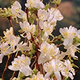 Dominik Blumen und Pflanzen, Wohlriechende Heckenkirsche Geißblatt, 1 Strauch