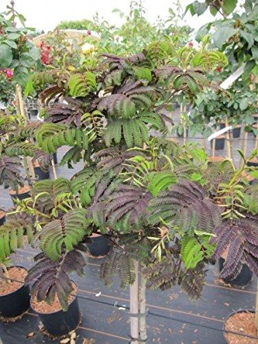 Albizia julibrissin Summer Chocolate - Seidenbaum Summer Chocolate - Seidenakazie - Schlafbaum - auf einem 90 cm Hochstamm veredelt -