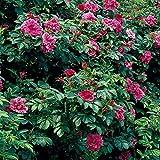 Dominik Blumen und Pflanzen, Heckenrose, Apfelrose, Kartoffel-Rose, Rosa rugosa, rot, 2 Liter Topf, 3 Pflanzen, 20 - 40 cm hoch, winterhartes Wildgehölz, plus 1 Paar Handschuhe gratis