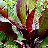 Future Exotics Ensete ventricosum Maurelii rote Abyssian Banane 75-80 cm