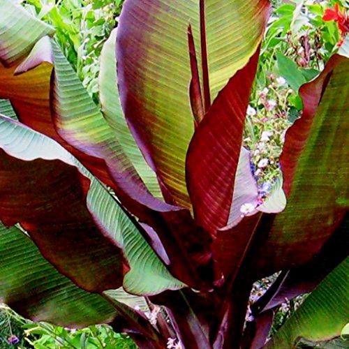 Future Exotics Ensete ventricosum Maurelii rote Abyssian Banane 15-20 cm