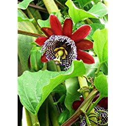 TROPICA - Riesengranadilla / Königsgranadilla (Passiflora quadrangularis) - 12 Samen