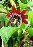 Tropica - Passiflore Géante (Passiflora quadrangularis) - 12 Graines