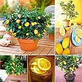 Shopmeeko 20 teile/beutel, zitrone pflanze, hohe überlebensrate bonsai obstpflanze hausgarten bonsa