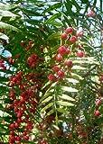 TROPICA - Peruanischer Pfefferbaum (Schinus molle var. areia) - 100 Samen