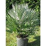 1 Palme Chamaerops humilis Vulcano Frostharte Zwergpalme bis - 13 Grad. Gesamthöhe 90-100 cm