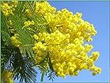 Acacia dealbata Silber-Akazie, Floristen Mimosa - Mimose 10 samens