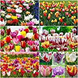 Portal Cool 100: Tulipano 'varietà miste' Tulip Bulbi fioritura primaverile Bulbi Piante Perenni