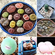 Goolsky Lithops Pseudotruncatella Seeds Dasktop Green Plants Rare Potted Stone Succulentes Mixture Seeds 500Pc