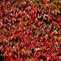 Wilder Wein Parthenocissus tricuspidata Veitchii 2 L Co. von VDG-KL-Baumschule - Du und dein Garten