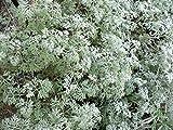 Asklepios-seeds® - 5000 Semi di Artemisia absinthium, Assenzio maggiore