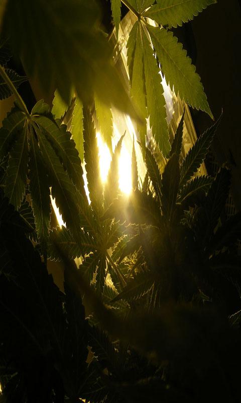 Weed Marijuana Cannabis Live Wallpaper: Amazon.co.uk
