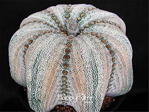 Galleria fotografica 20 pc / sacchetto Semi di Hoya, piante, semi Hoya palla orchidee, rari semi di fiori bonsai, vaso di crescita naturale per la semina giardino di casa
