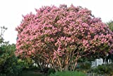 #8: Tree Seeds : Lagerstroemia Speciosa - Shade Tree For Home Home Garden Pack by Creative Farmer