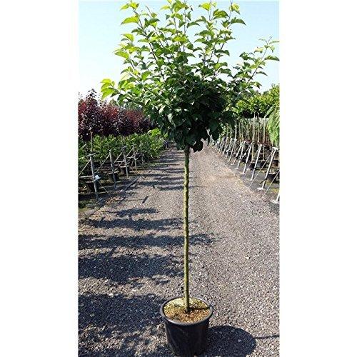 Apfel Baum 'Cox Orange Renette' Malus domestica im 7,5l Topf gewachsen 150-200cm Obstbaum winterhart