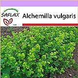 SAFLAX - Heilpflanzen - Frauenmantel - 100 Samen - Alchemilla vulgaris