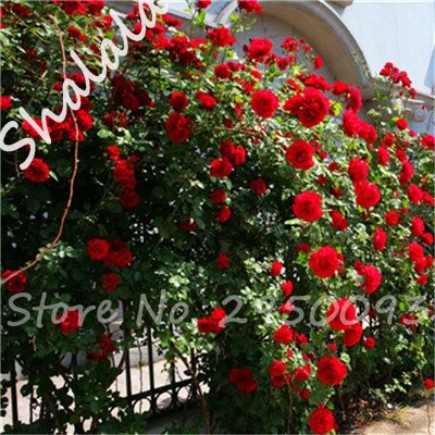 Giardino Serra pianta rampicante Roses semi Outdoor aerobici in vaso Rare Rosas Piantina Seeds Wedding della decorazione 10 pc/Bag 1