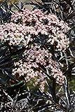 Schwarzer Holunder `Black Lace´ (Sambucus nigra) Größe 15-L-Topf