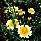 Futaba Marguerite Chrysanthemum frutescens Argyranthemum perenni Erbe 200 semi