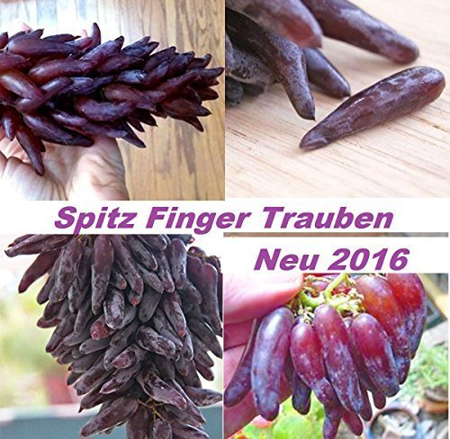 15x Spitz Finger Trauben Neu Samen Hingucker Pflanze Rarität Obst Neu 2016 #208