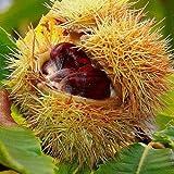 Anitra Perkins - Duftend 5pcs Rarität Bio Esskastanie Nussbäume ertragreich, Baumsamen Fruchtsamen Obstsamen winterhart mehrjährig (5)