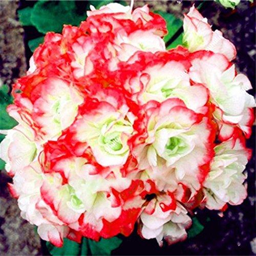 Doppelblütige Geranie Mehrfarbig 10 Samen