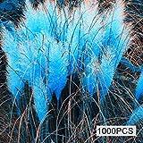 Masoke Giardino - Rari 500/1000 Pezzi Pampa Americana Semi di Erba Ornamentale Fiore Mare Sempreverde per Bordo Perenne, Bordo Legnoso Hardy (1000 Pcs, Blu)