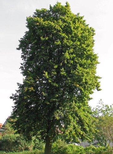 Sommerlinde 20 Samen - Winterhart -''Tilia platyphyllos'' Auch Bonsai geeignet<