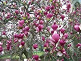 Vivai Le Georgiche Magnolia Soulangeana