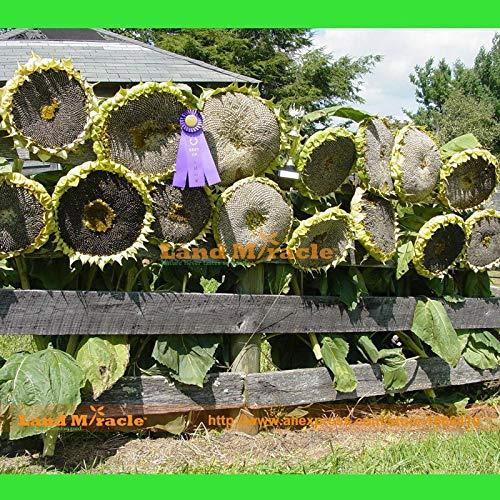 Pinkdose Seltene Russischen Riesen-Sonnenblume-Blumensamen, 20 Samen, Erbstück Bio Essbare Sonnenblumensamen