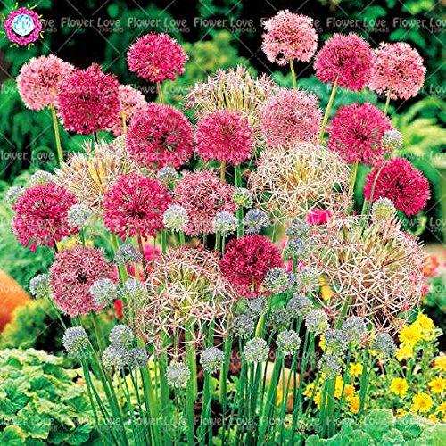 Keland Garten - Exotic 30 stück allium giganteum Riesen-Zierlauch selten Blumenzwiebeln winterhart mehrjährig aus Vorderasien