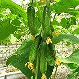 Kisshes Giardino - Semi di cetrioli biologici Mini-cetriolo Snack Semi di frutta vegetale Perenne ad alto rendimento resistente per giardino balcone/patio