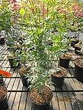 Acer palmatum Tsukasa Silhouette (R) - Säulenahorn Tsukasa Silhouette (R)