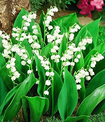 BALDUR-Garten Maiglöckchen,15 St. von Baldur-Garten bei Du und dein Garten