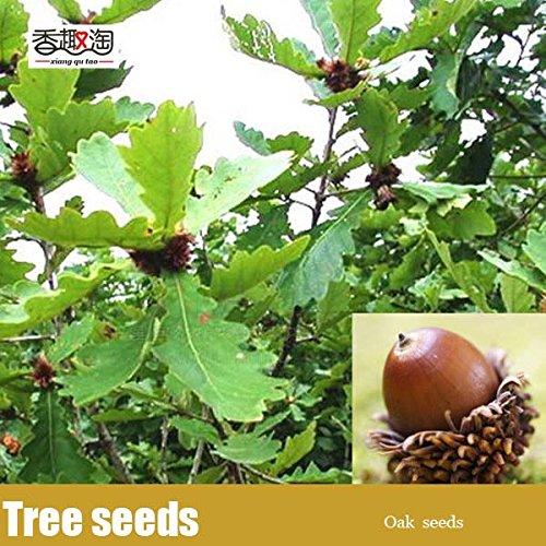 2ST Eiche Samen weit kultiviert Pin-Eichen-Laubbaum-Samen