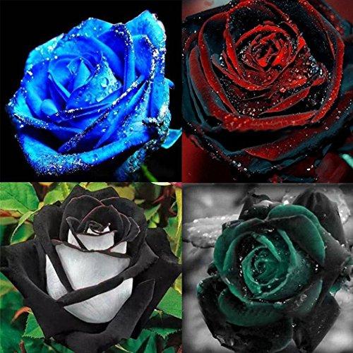 Voiks Garten-50 stück Rosensamen Edelrose Blumensamen Regenbogen Rose Bunte Blumen Samen für Ihr Garten Balkon Lange Blütezeit winterhart