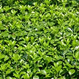 Dickmännchen, (Pachysandra terminalis),  5 Pflanzen