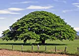 SEED Seller: Enterolobium Cyclocarpum, Elephant Ear Tree (National tree of Costa Rica) Seeds for growing. A flowering and ideal shade tree that is nat best price on Amazon @ Rs. 230