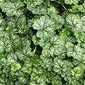Zwerg - Purpurglöckchen ( Heuchera PEPPERMINT ) von Lichtnelke Pflanzenversand - Du und dein Garten