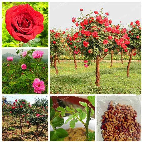 Bloom Green Co. Vente chaude 50 Pcs Rare Rose Tree Bonsai chinois Belle bricolage Home Jardin Balcon Jardin Belle pot de fleur plante facile à cultiver: MIX