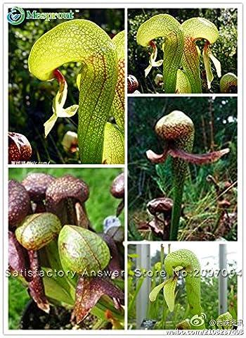 Heiße Selling FLEISCH FRESSENDE COBRA LILY chinesischen Seltene Blumen-Samen californica Samen Plüsch 200pcs Freies Verschiffen