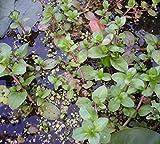 Haus&Garten 8 Pflanzen Bachbunge Bach-Ehrenpreis, wunderschöne Teichpflanze, Dauerblüher