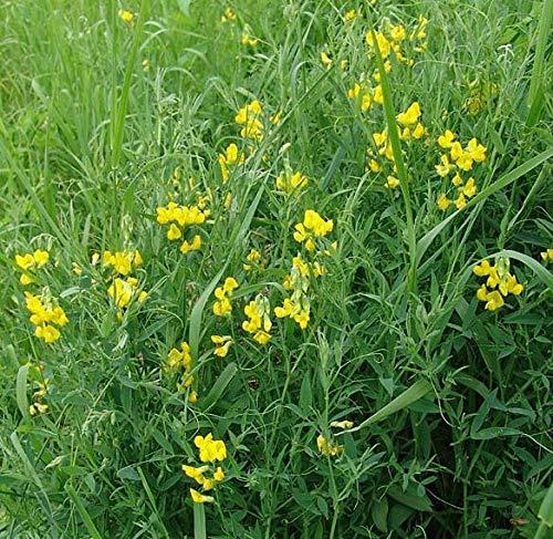 Portal Cool Lathyrus Pratensis - Wiesenplatterbse - 150 Seeds - Perennial Wild